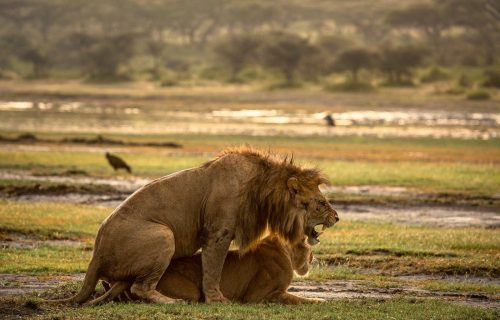 Male and female lion growling and snarling during mating, captured in Serengeti.