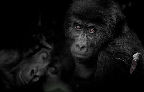 Kahuzi-Biega National Park - Congo Gorilla Trekking