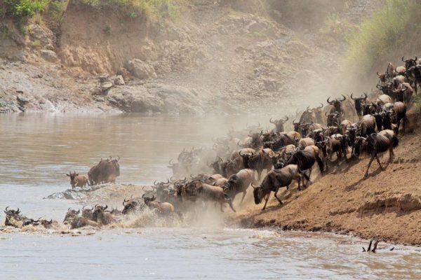 Migration Wildebeest in Tanzania - Kenya