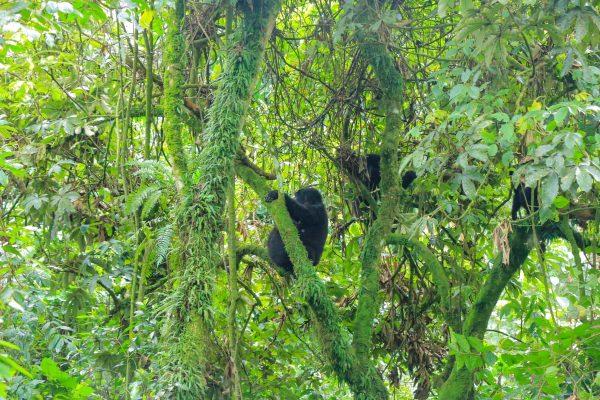 Mountain Gorillas in Rushaga Sector