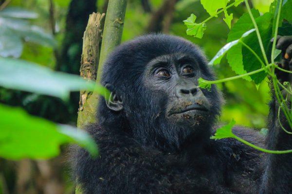 Rushaga offers the most Adventurous Gorilla Trekking