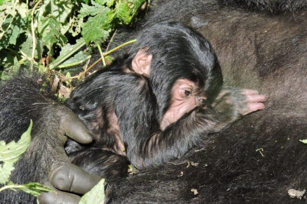 Congo Gorilla Photo Tours