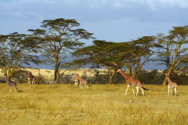 Lake Nakuru National Park group of giraffe