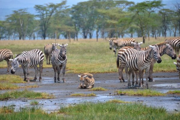 Lake Nakuru National Park group of zebra