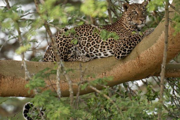 Lake Nakuru National Park leopard