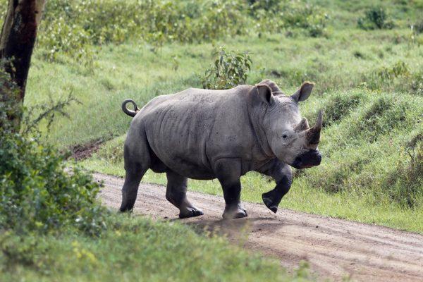 Lake Nakuru National Park rhino
