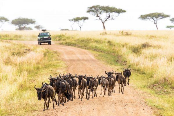Maasai Mara wildebeest crossing road