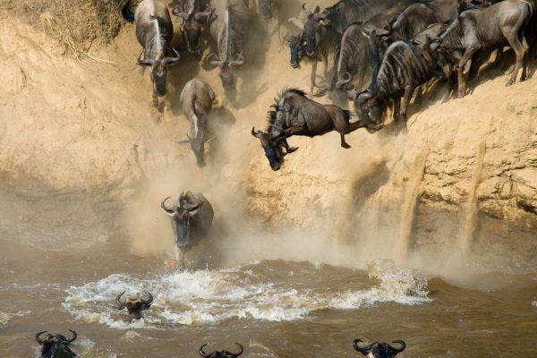 Maasai Mara wildebeest entering river