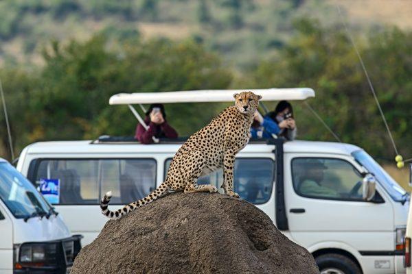 Masai Mara viewing a cheetah