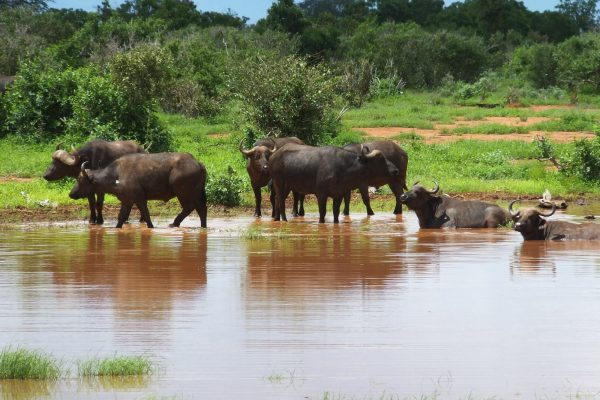 Wildlife in tsavo east
