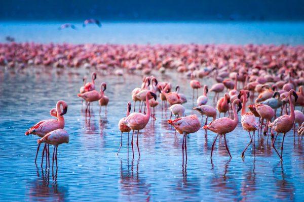 Pink Flamingos in Lake Nakuru National Park