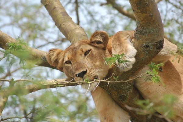 tree-climbing lions in Queen Elizabeth National Park