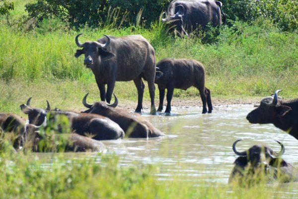 Buffaloes in Murchison Falls National Park