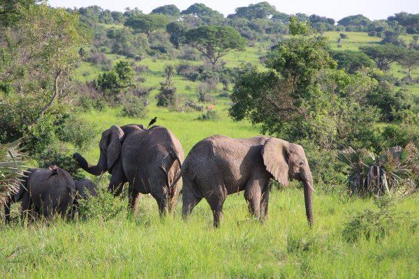 Elephants in Murchison Falls National Park