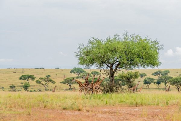 Evening Game Drive in Murchison Falls National Park