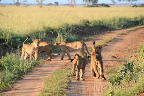 Evening Game Drive (lions Playing) Murchison Falls National Park