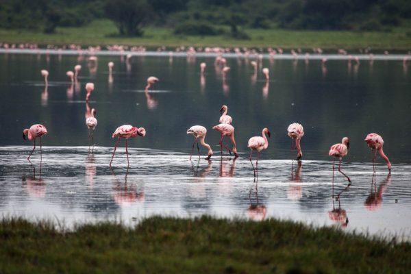 Flamingos in Queen Elizabeth Uganda
