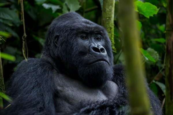 Gorilla Trekking Uganda minimum age