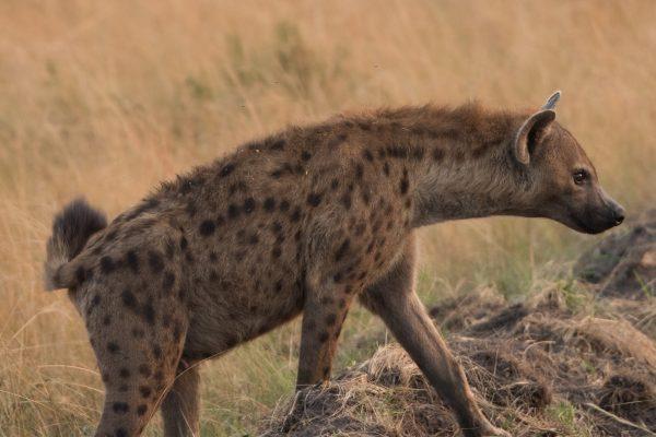 Hyenas in Ishasha Wilderness Tented Camp