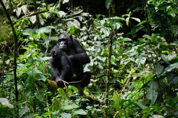 Kibale National Park Chimpanzee trekking