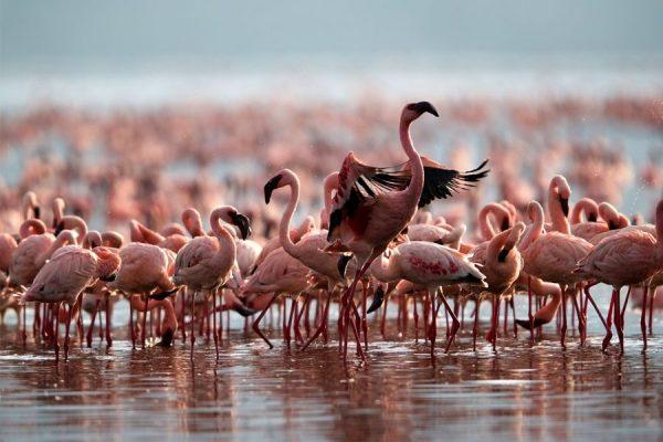Lesser Flamingos Uganda