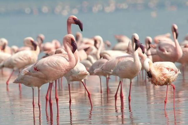 Lesser Flamingos in uganda